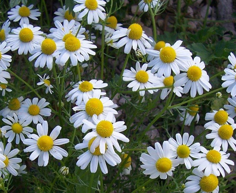 Matricaria wwwbotanywisceducoursesbotany400PlantsofDay