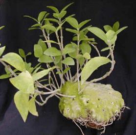 Botany coursae