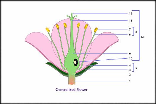 Floral parts diagram ccuart Image collections